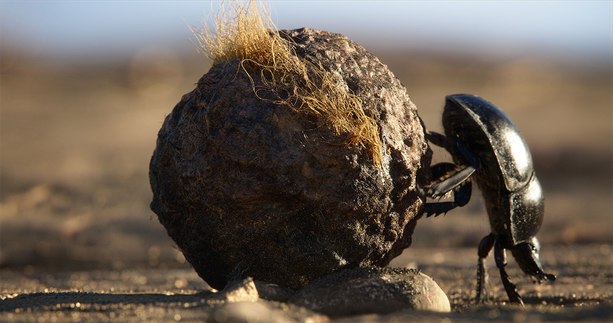 In Appreciation Of The Lion King S True Star The Dung Beetle