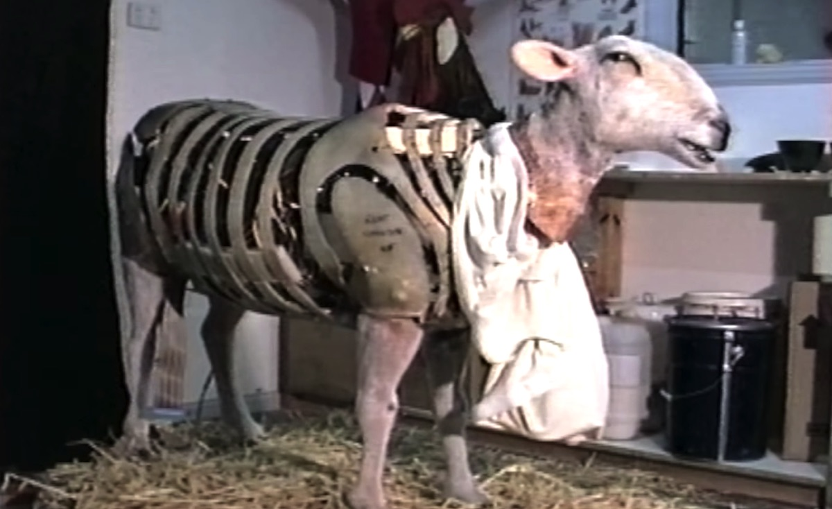 The animatronic sheep in 'Babe' almost lost their coats before filming even started